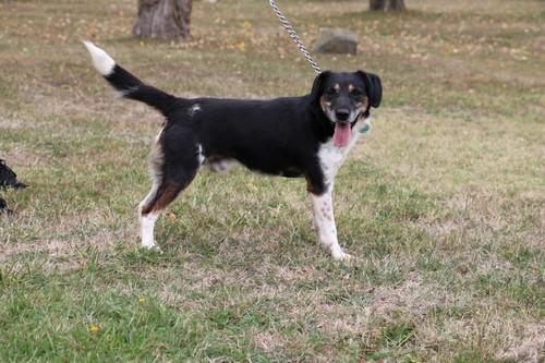NINNIN - fox/beagle 7 ans - LDAS à Neuville sur Sarthe (72) NinNin-2
